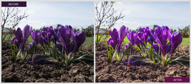 I'm offering this lightroom preset for free. This preset adds more colors to your springtime photos and boosts the purple color.